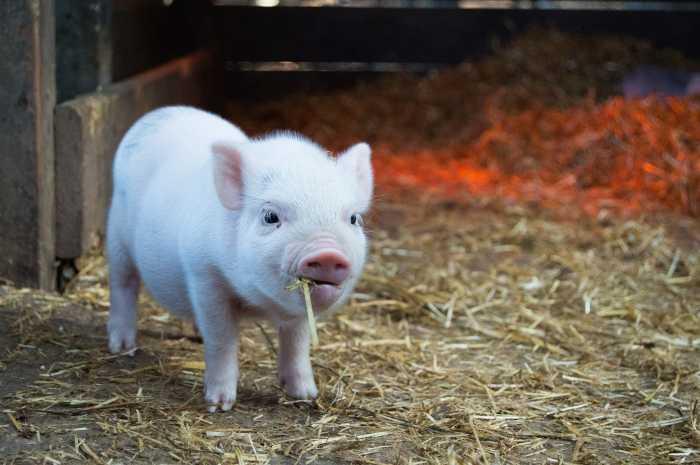 Daging Babi Haram Dalam Islam, Ini Penjelasan Ilmiahnya
