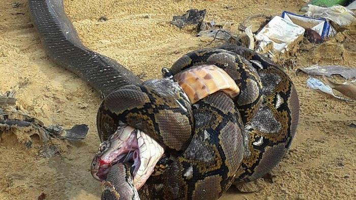 Piton Berantem Lawan Raja Kobra, Siapa Menang?