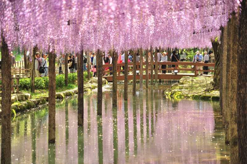 <i>Gak</i> Cuma Sakura, Bunga ini Juga Mempercantik Jepang