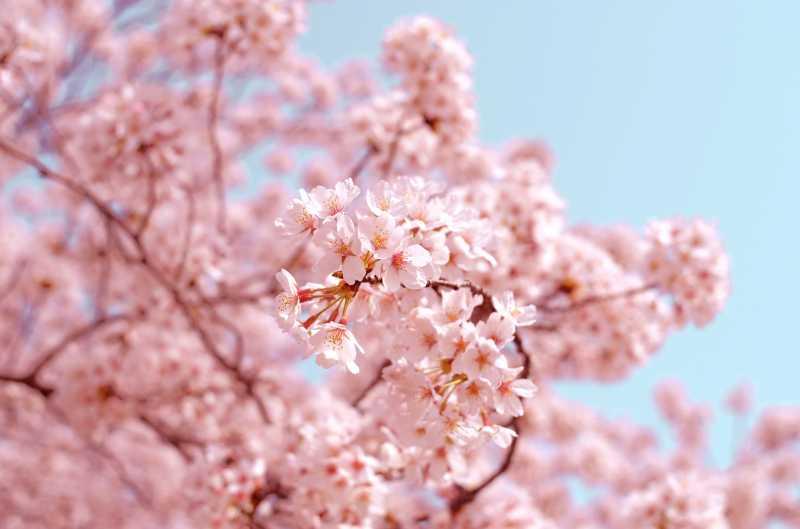 Di Kota Ini Sakura Pertama Mekar