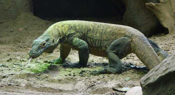 Sabar Ya, Taman Nasional Komodo Ditutup Dulu Selama Setahun