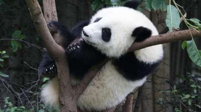 Panda Tertua di Dunia Berulang Tahun Ke-35