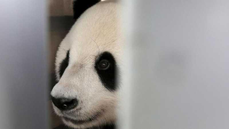 Panda Mati Mendadak di Thailand, China Curiga