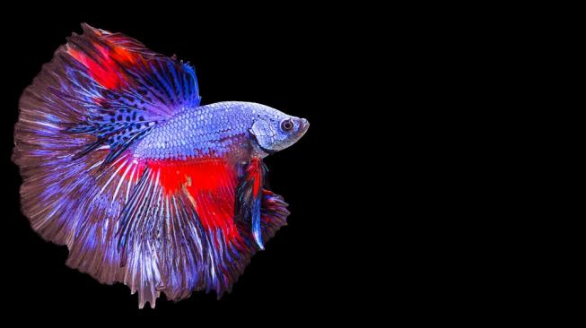Budidaya di Indonesia, Ikan Cupang Spesies Baru Diklaim Malaysia