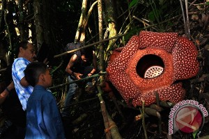 Rafflesia Arnoldi Mekar di Dekat Kebun Warga