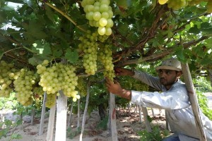 Anggur sanggup lawan sel kanker usus