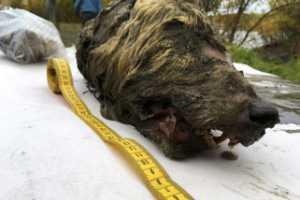 Rusia Temukan Kepala Serigala Berusia 40 Ribu Tahun