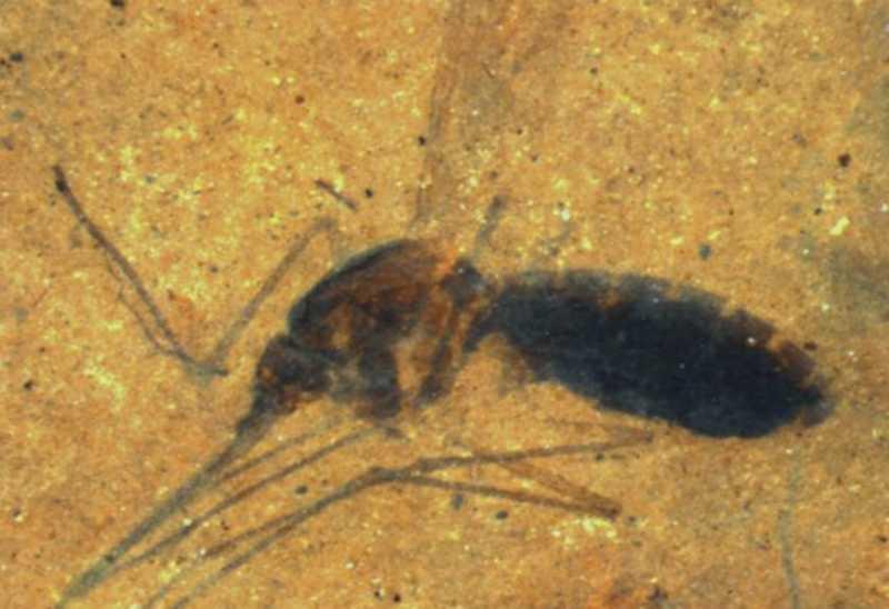 Nyamuk Sudah Hidup Sejak 46 Juta Tahun Lalu