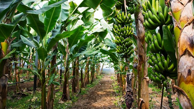 Catat, 5 Manfaat Minum Jus Batang Pohon Pisang Bagi Kesehatan