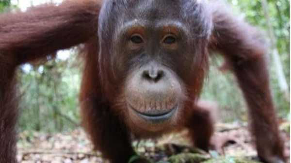 Orangutan di Kalteng Terserang ISPA Akibat Karhutla