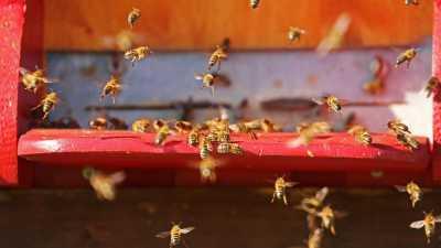 Seorang Ibu Abadikan Momen Kehamilan Bersama 20 Ribu Lebah