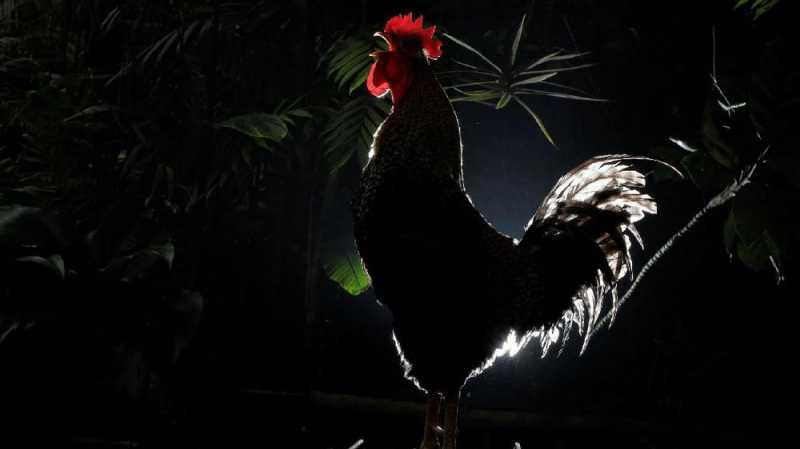 Kecewa Performa Pelatih, Suporter Lempar Ayam ke Lapangan