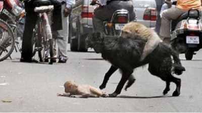Dramatis! Ibu Kera Selamatkan Anaknya dari Terkaman Anjing