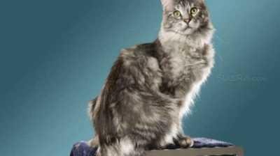 Ini Dia Kucing Tertinggi dan Berekor Terpanjang di Dunia