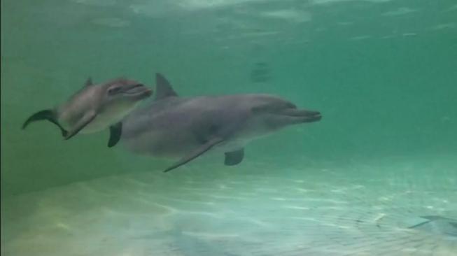 Lahir di Hari Pahlawan, Lumba-lumba Ancol Ini Namanya Hero