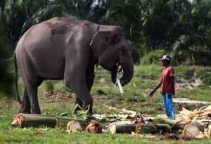 Ini Penyebab Kematian Gajah-Gajah di Aceh