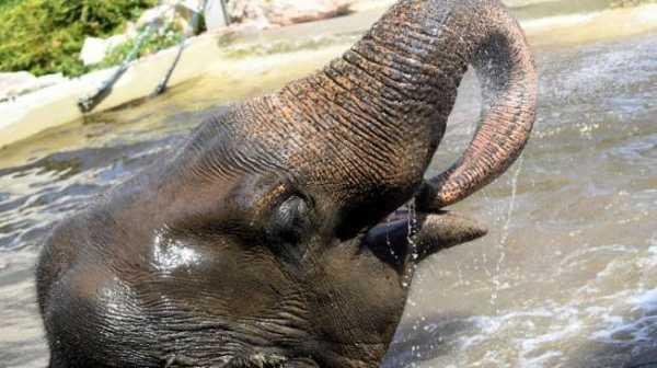 "Gajah ""Ngamuk"", Pemburu Profesional Mati Diinjak-injak"