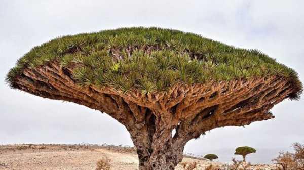 Pohon Darah Naga Sanggup Hidup Hingga 300 Tahun