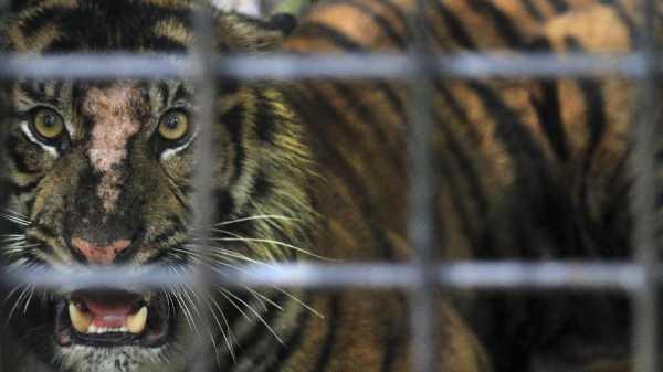 Sebanyak 86 Harimau Mati di Penangkaran Thailand