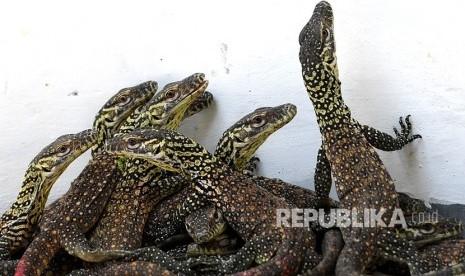 74 Ekor Bayi Komodo Lahir di Kebun Binatang Surabaya