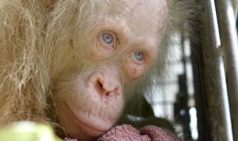 Mencari Nama Buat Orang Utan Albino Langka