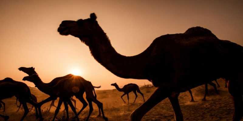 Nyata, Saudi Deportasi 15 Ribu Unta 'Kelahiran' Qatar
