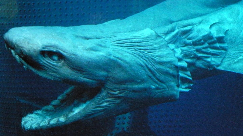 Ikan Hiu Purba Ditemukan Berenang di Portugal