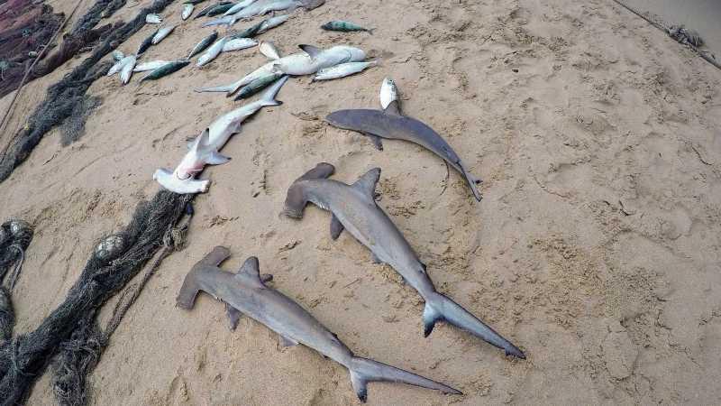 Hampir 100 Hiu Martil Ditemukan Mati di Pantai Hawaii, Ada Apa?