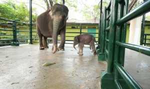 Bayi Gajah di KBS Diberi Nama Dumbo