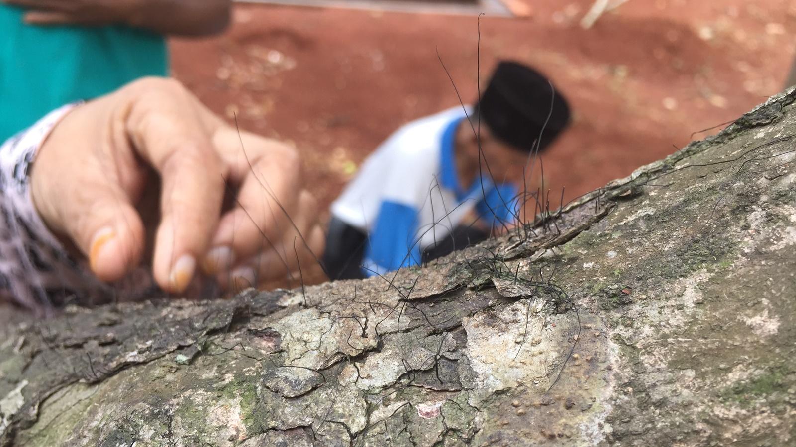 Heboh Penampakan Pohon Berambut di Pemakaman di Depok