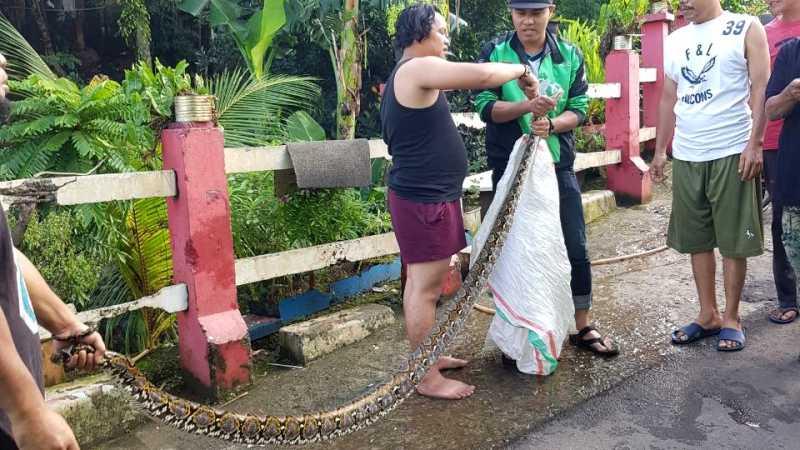 Warga Tangkap Ular Sanca Ukuran 3 Meter di Kali Pesanggrahan