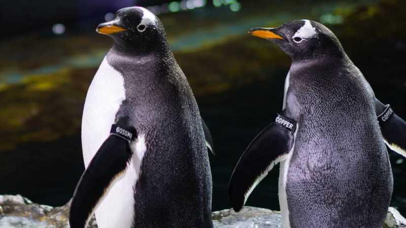 Dikenal sebagai Hewan Setia, 2 Penguin di AS Malah Terbukti Selingkuh