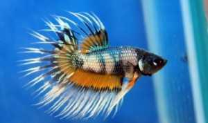 Begini Trik Berantas Jentik Nyamuk dengan Ikan