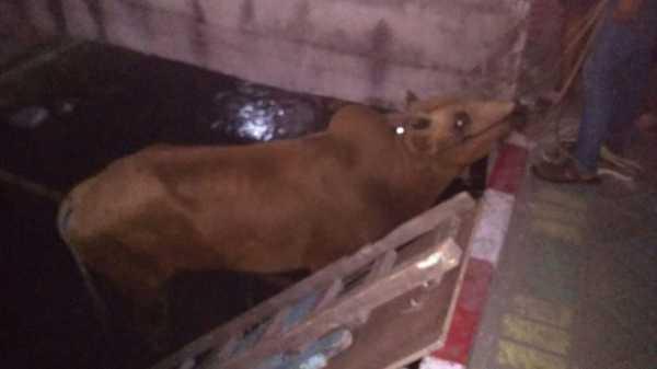 Sapi Kurban Mengamuk di Surabaya, Terperosok hingga ke Sungai
