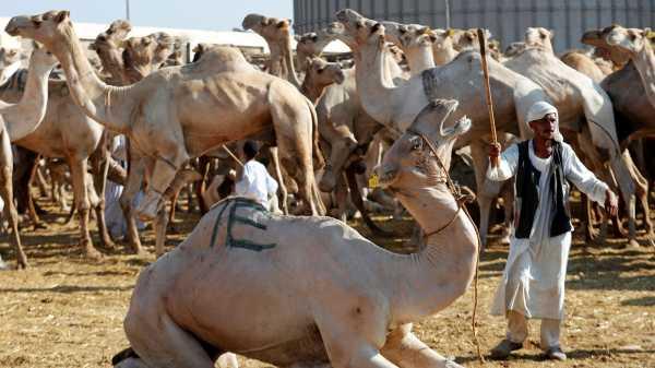 Melihat Pasar Unta untuk Kurban di Mesir