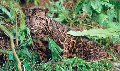 Buru Harimau Kepala Manusia, Warga Malah Digigit Harimau