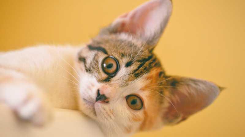 18 Fakta Unik soal Kucing yang Seru untuk Diketahui Anak