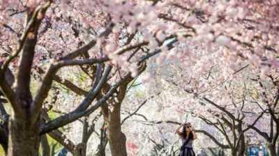 Warga Jepang Geram Lihat Turis Tega Rontokin Bunga Sakura Demi Main Tik Tok