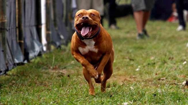 Pitbull Gigit Bocah sampai Wafat, Pencinta Hewan: Orang Tua Lalai