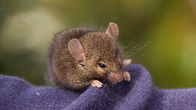 NASA Kirimkan 20 Tikus Ke Luar Angkasa, Buat Apa?