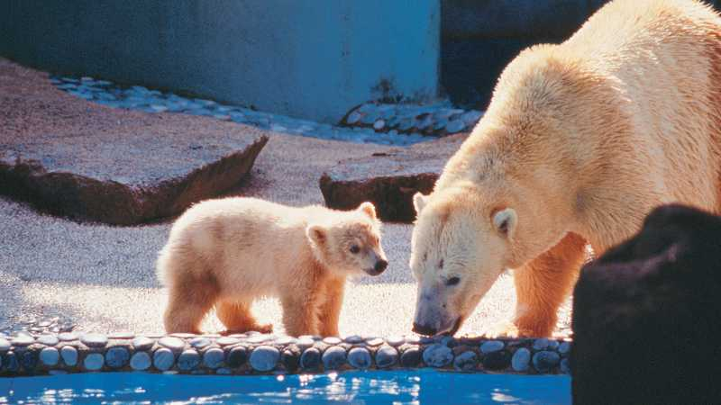 Demi Bertahan Hidup, Beruang Kutub Makan Bangkai Paus