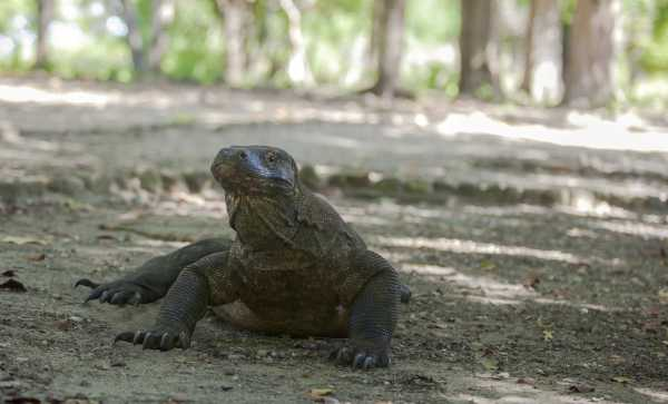 Ada Pembantaian Rusa dan Kerbau, Taman Nasional Komodo Ditutup Setahun