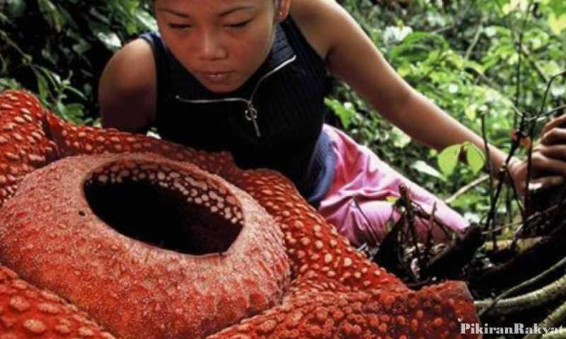 10 Fakta tentang Rafflesia arnoldii, Bunga Langka Berbau Busuk