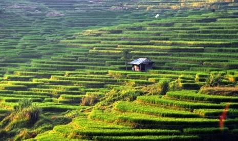 Sawah Abadi Warisan Budaya UNESCO Alami Penyusutan
