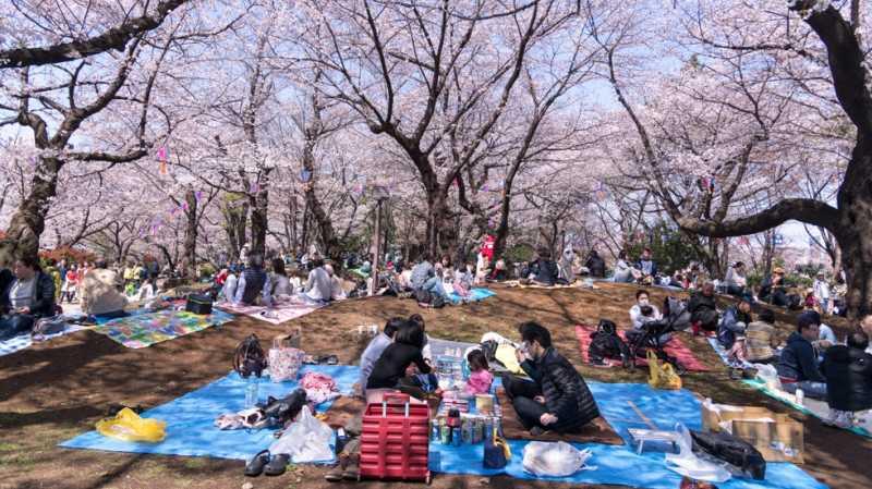 Bunga Sakura Sudah Mulai Bermekaran di Jepang, Normalkah?