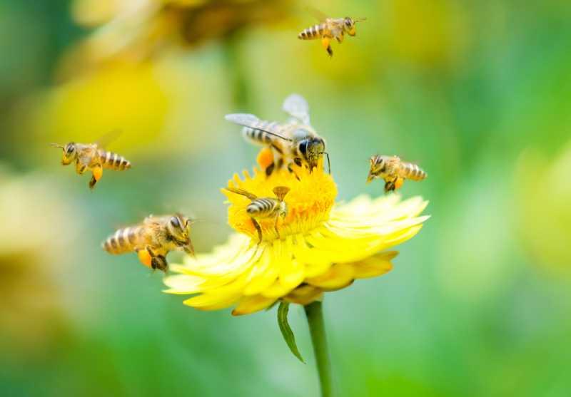 3 Manfaat Terapi Sengat Lebah untuk Kesehatan, Berani Coba?