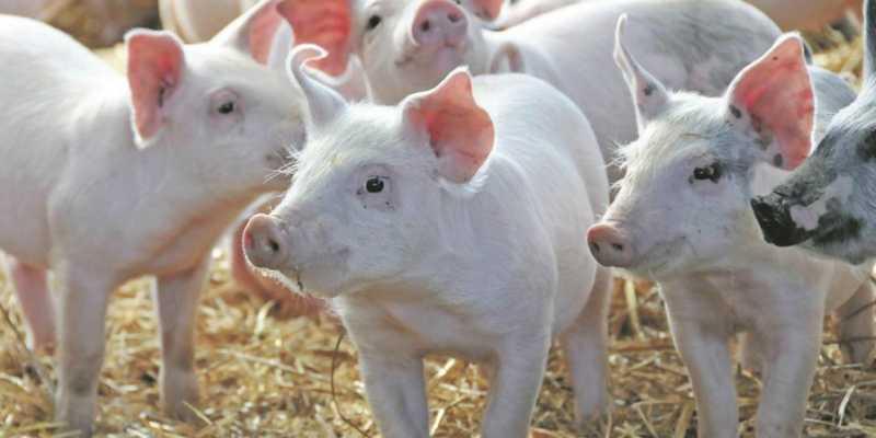 Ilmuwan: Suatu Hari, Jantung Babi Berdetak di Tubuh Manusia