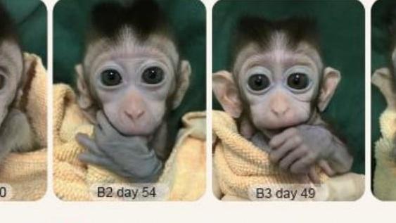 Anak Monyet Hasil Kloning Lahir di China