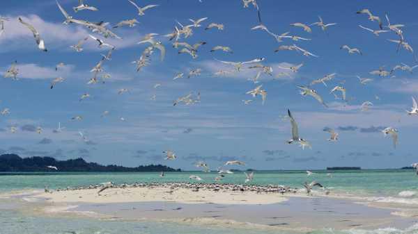 Pesona Ribuan Burung Camar di Baby Island, Aceh